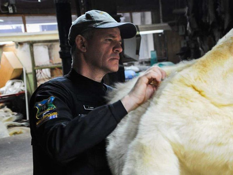 In this photo taken in Canada and provided by Interpol, a Canadian wildlife officer inspects a Polar Bear pelt for trade compliance.