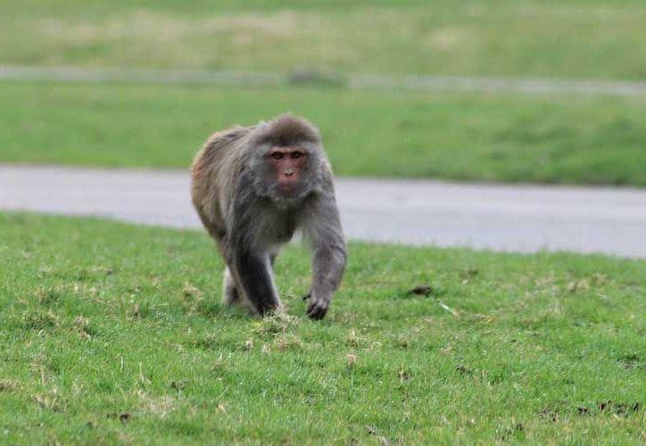 Investigadores calculan que hay entre 150 y 200 macacos Rhesus. (Foto: Contexto/Internet)