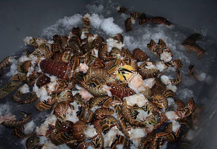 Los hombres de mar dan más tiempo a la especie para tener una mejor captura. (Milenio Novedades)