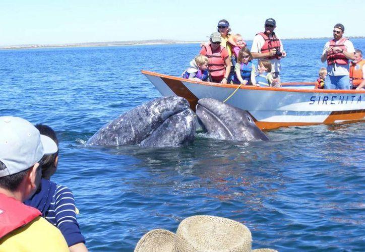 La distinción como Puerto Verde a Ensenada, se debe, entre otros aspectos, a sus programas de cuidado de la fauna marina, como la ballena gris, cuyo avistamiento forma parte de su oferta turística. (Archivo/Notimex)