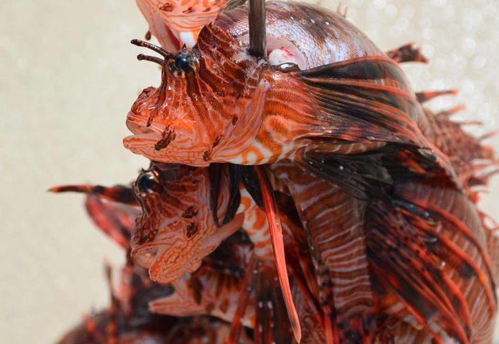 Este pez se alimenta de pescado, camarones y otros tipos de crustáceos.(Octavio Martínez/SIPSE)
