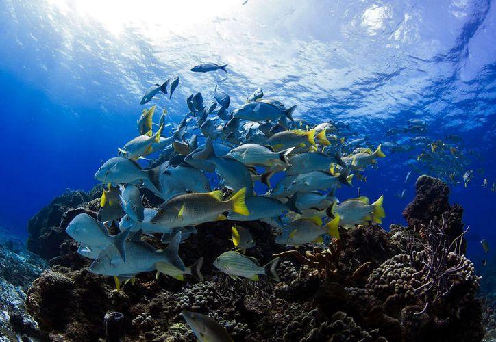 La buena salud de los arrecifes de Cozumel puede beneficiar a otros puntos de la zona. (Foto: Gustavo Villegas)