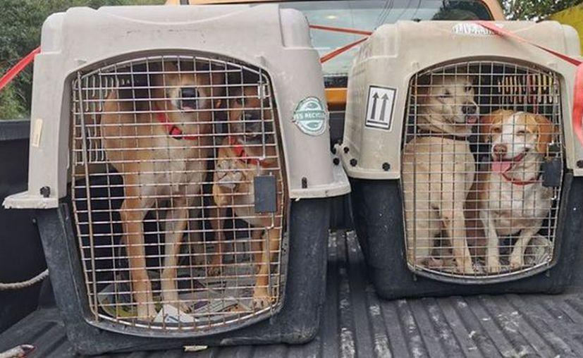 Los perros mestizos durante su envío a Canadá. (Foto: Evolución AC)