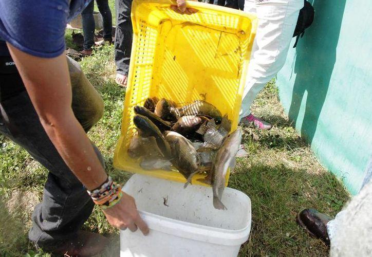 Esta especie de pescado tiene una gran demanda en el mercado local. (Edgardo Rodríguez/SIPSE)