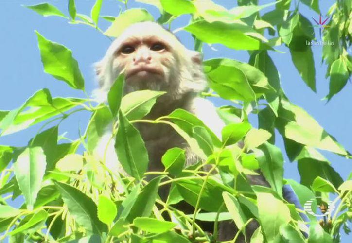 Se registra una intensa movilización policíaca para rescatar a un mono capuchino. (Televisa News)