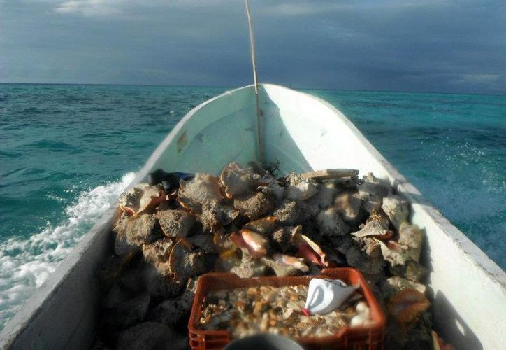 Se lograron incautar 300 kilogramos de caracol rosado de la especie Strombus Gigas, actualmente en veda por cinco años. (Juan Palma/SIPSE)