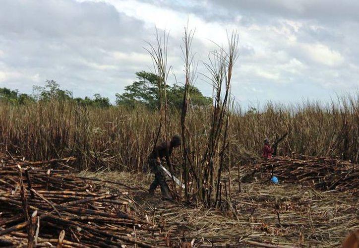 Al cierre del fin de semana tenían 53 mil toneladas de caña molidas y entregadas al batey. (Edgardo Rodríguez/SIPSE)