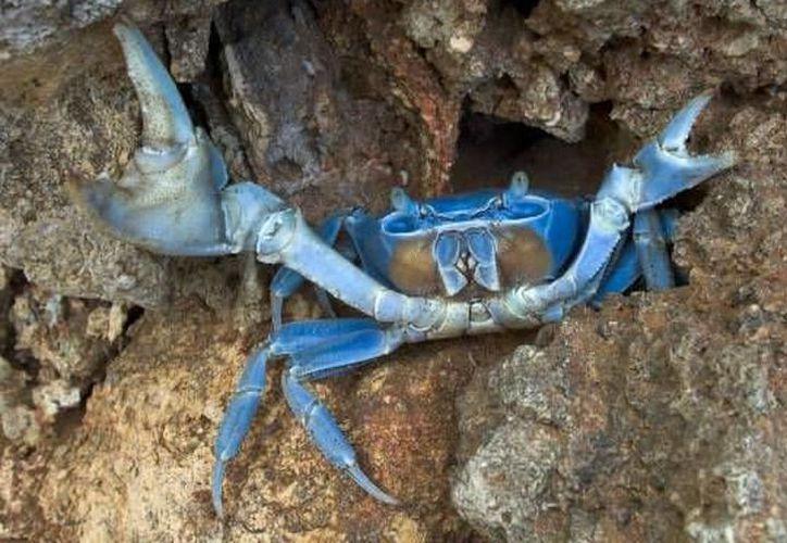 Las primeras lluvias de septiembre son el indicativo de que la migración masiva del cangrejo azul. (Archivo)