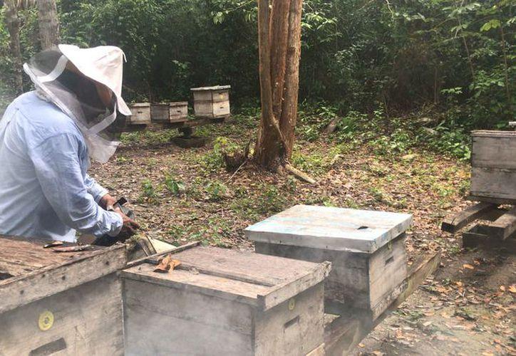 La intención es mejorar la calidad de la miel y aumentar la productividad. (Joel Zamora/SIPSE)