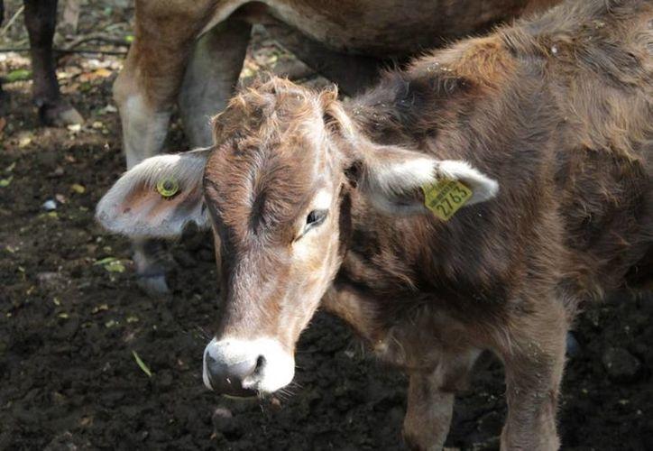Hasta el momento el ganado de Quintana Roo goza de un status libre de brucelosis y tuberculosis, pero un sólo caso podría cambiarlo. (Edgardo Rodríguez/SIPSE)