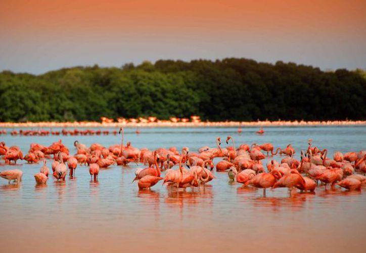 Los flamencos arriban a la costa yucateca en noviembre. (Milenio Novedades)