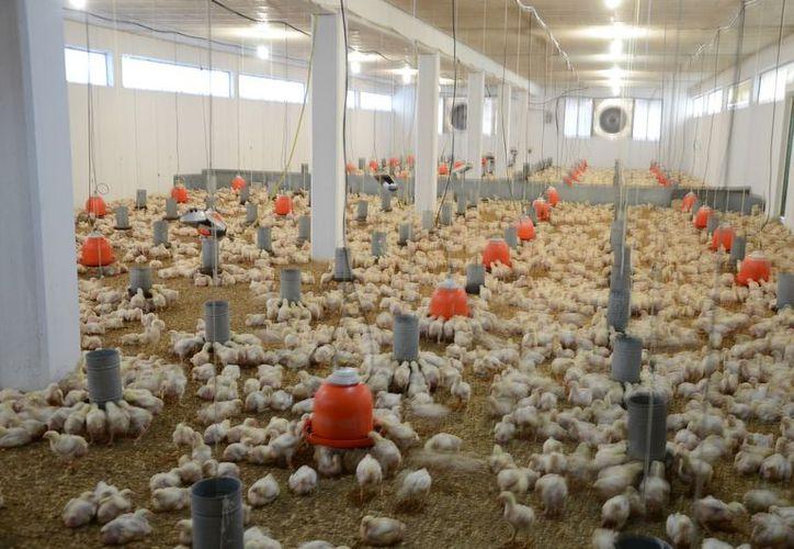 El rastro de pollos entra en operación en julio, tendrá una capacidad para procesar 10 mil aves por turno de ocho horas.