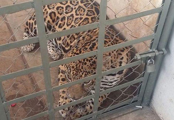 Dentro de la vivienda, militares decomisaron un jaguar y un tigre, además de droga y armas. (Foto: Tiempo)