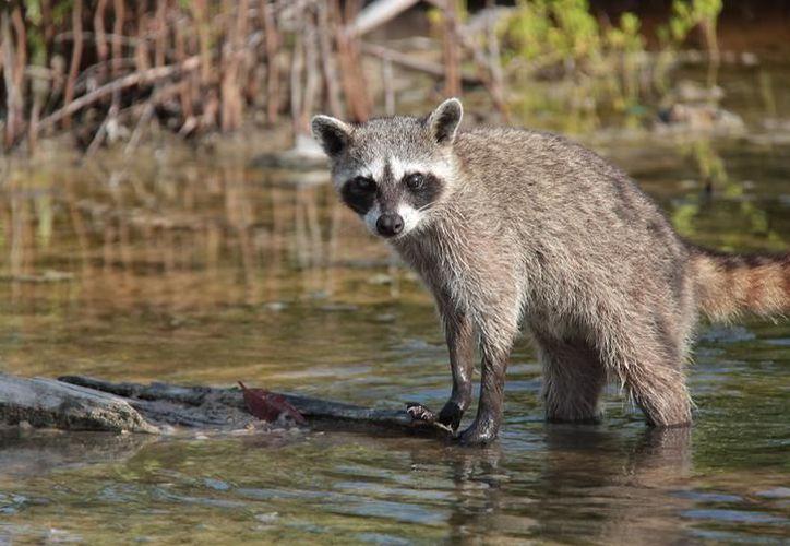 Los mamíferos que habitan en Cozumel, algunos endémicos, son organismos vulnerables. (Archivo/SIPSE).