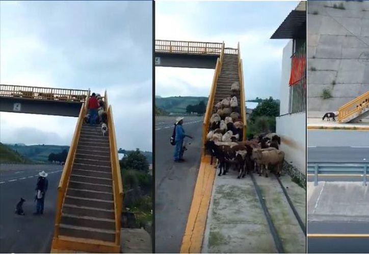 El rebaño sube las escaleras del puente peatonal para cruzar el camino mientras su dueño, les daba indicaciones. (Vanguardia MX)