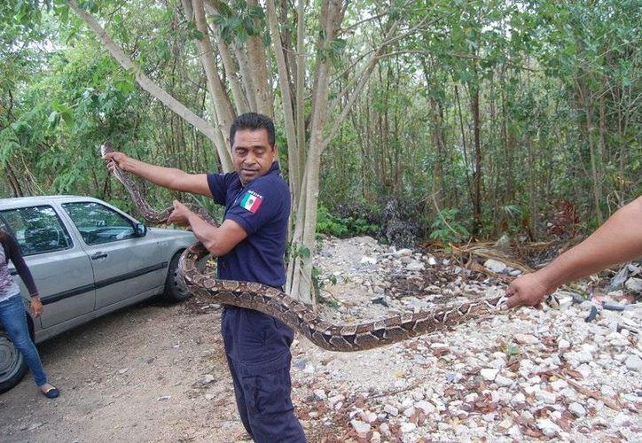 Una boa de más de dos metros fue atrapada por los Bomberos cerca de una escuela en la colonia Ejido.  (Redacción/SIPSE)