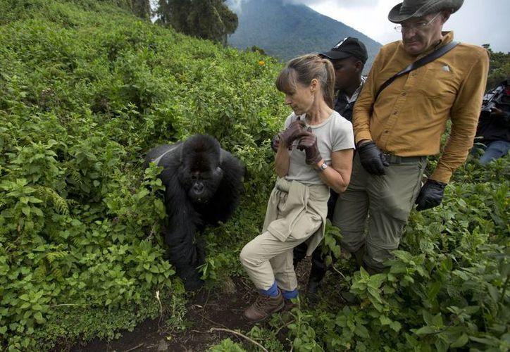 Los turistas británicos Sara y John Scott dan un paso atrás cuando un gorila de montaña sale inesperadamente de la maleza en la ladera del volcán Monte Bisoke en el Parque Nacional de los Volcanes en Ruanda. (Agencias)