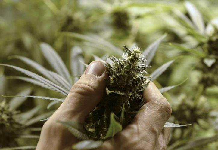 El Estado uruguayo prevé otorgar hasta seis licencias para cultivar terrenos de marihuana. (AP)