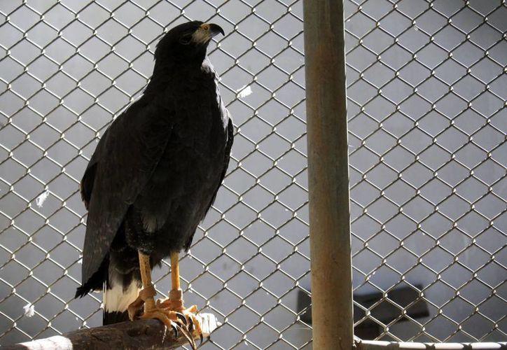 """El ejemplar de águila negra fue hallado """"maniatado"""" y con signos de deshidratación. (Harold Alcocer/SIPSE)"""