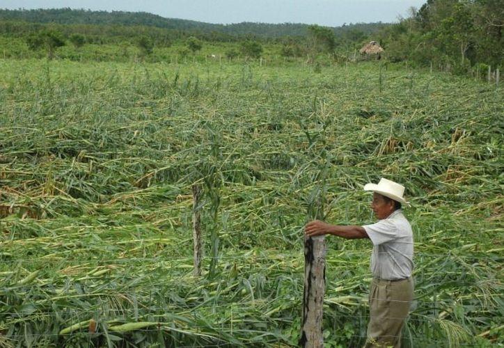 Se espera que la declaración de la cruzada contra el hambre pueda facilitar recursos, pues de lo contrario, la cosecha se vería perdida para este año. (Edgardo Rodríguez/SIPSE)