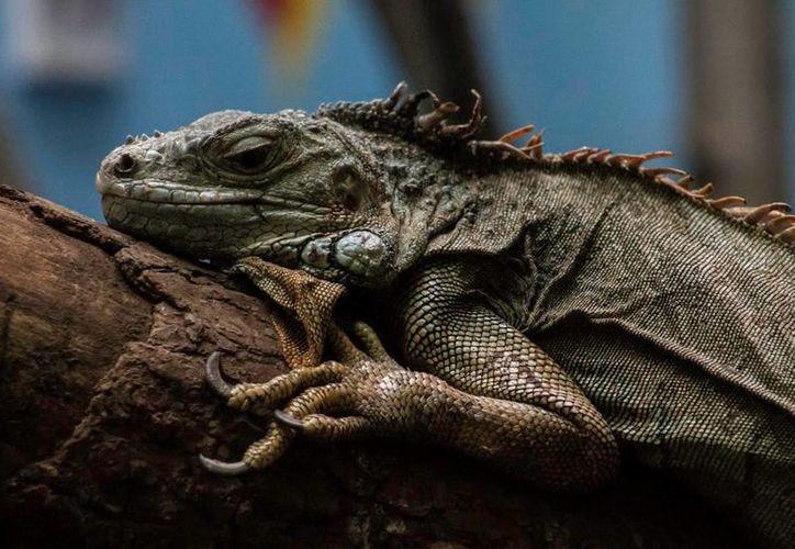 De acuerdo con World Wildlife Fundation cada año se comercializan 10 millones de unidades de piel de reptil. (Archivo/Notimex)