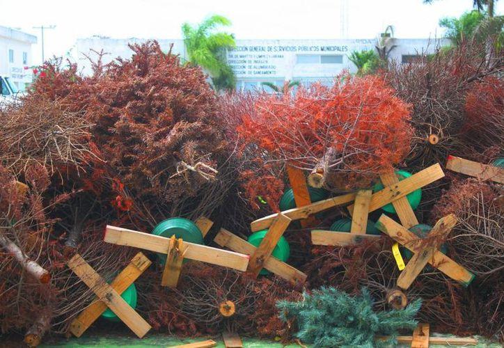 Árboles navideños siguen en espera de ser triturados. (Daniel Pacheco/SIPSE)