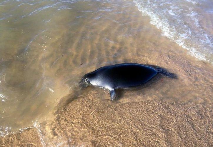 Las focas muertas han ido apareciendo en la orilla del lago Baikal. (Foto: Vanguardia.mx.)