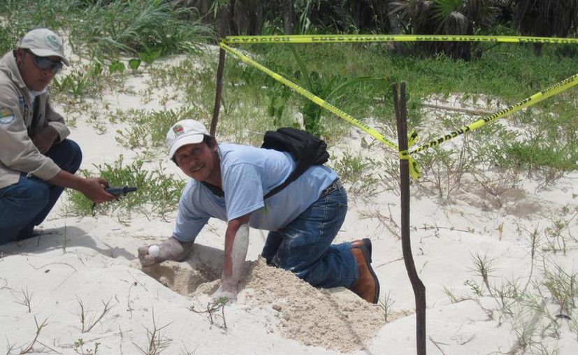 Crece el número de nidos protegidos en esta temporada. (Adrián Barreto/SIPSE)