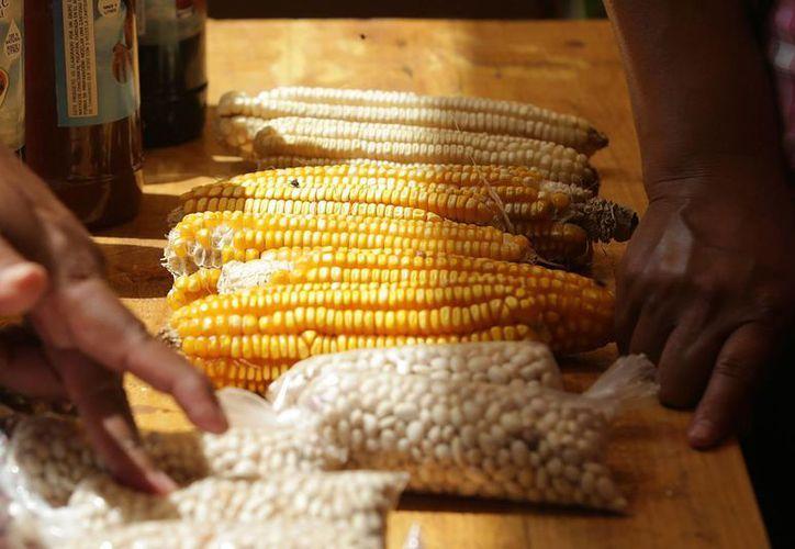 Las comunidades mayas todavía preservan al menos tres variedades de maíz, aunque investigadores trabajan para obtener información sobre otras. (Notimex)