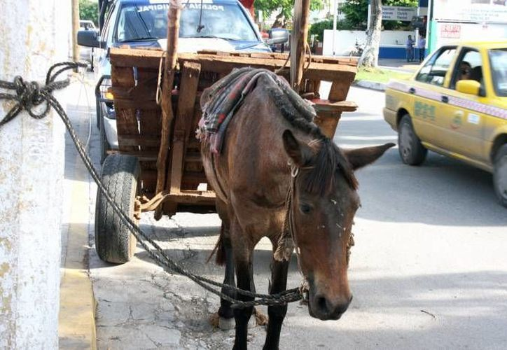 Este sábado falleció en Mérida un caballo de los que tiran de una carreta y son usados para vender bolsas con tierra. (Milenio Novedades/Foto de archivo)