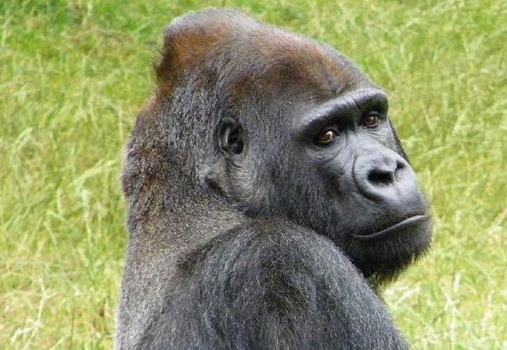 La muerte de Harambe desató una ola de comentarios contra el Zoo de Cincinnati y la madre del menor. (RT)