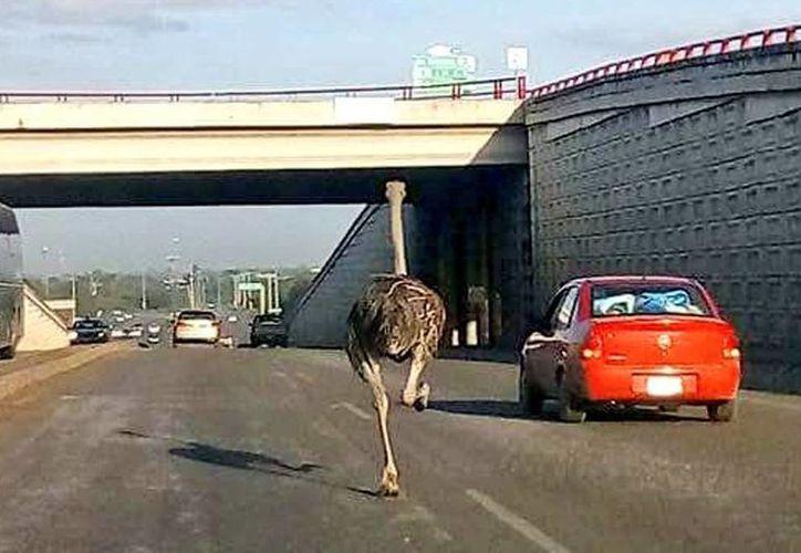 El avestruz escapó de un criadero de aves en Monte Blanco. Elementos de Protección Civil lo rescataron antes de que fuera lastimado o provocara algún incidente vial. (@juaram)
