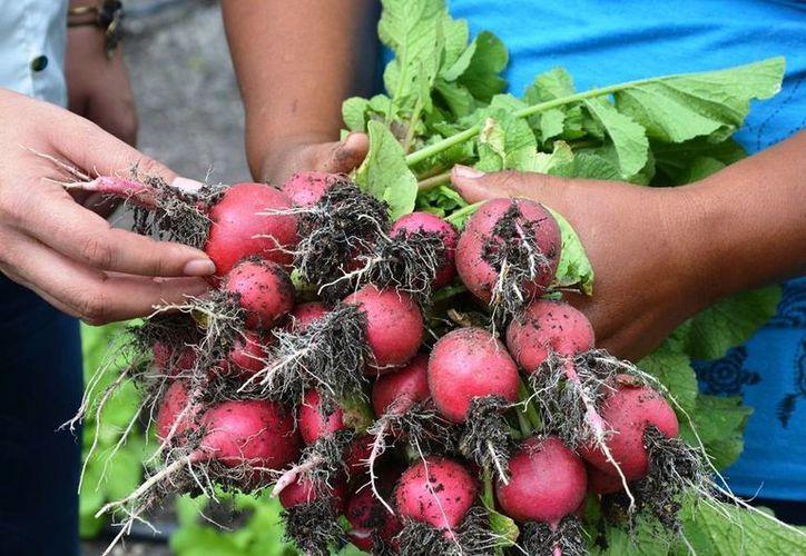Las mujeres se especializarán en especies como rábano, lechuga, cilantro. (Edgardo Rodriguez/SIPSE)