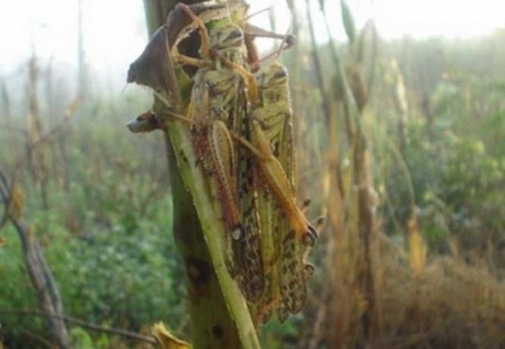 La presencia de la langosta agrícola en la región se considera peligrosa para los cultivos. (Carlos Horta/SIPSE)