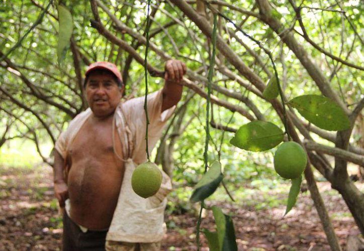 Unos 23,000 productores de limón de Yucatán están en riesgo de perderlo todo: el precio del limón están por los suelos... y los frutos también porque han decidido no cosecharlos más. (José Acosta/SIPSE)
