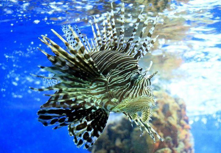 El pez león es una especie originaria del Pacífico, detectada por primera vez a mediados de la década de 1980. (Archivo/EFE)