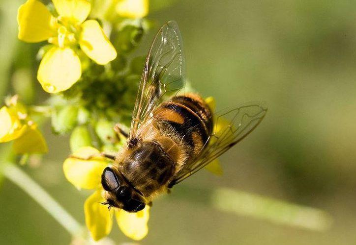 Los apiterapeutas aseguran que el veneno de abejas bien administrado es muy efectivo.  (Redacción/SIPSE).