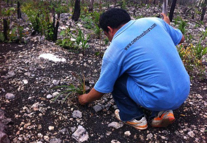 Campesinos aseguraron sus cultivos de maíz ante la sequía. (Ángel Castilla/SIPSE)