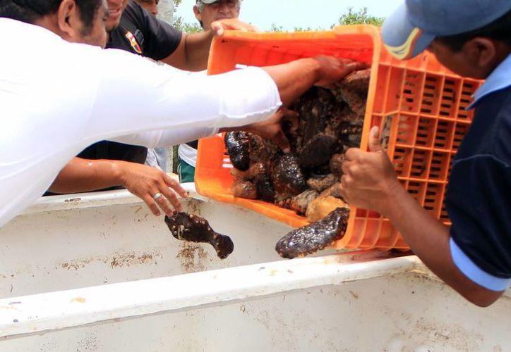 El pasado 26 de abril inició la captura del pepino y hoy concluye. (SIPSE)