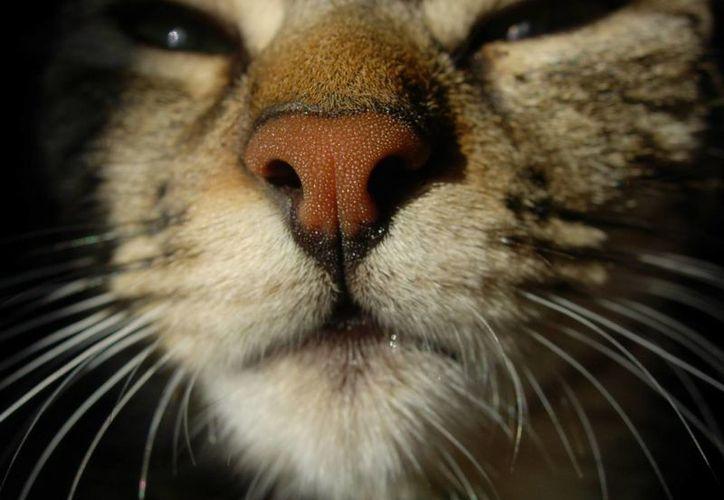 Los gatos pequeños suelen ser portadores de la bacteria Bartonella henselae, que puede ser mortal para los humanos. (santiagopetstore.com)