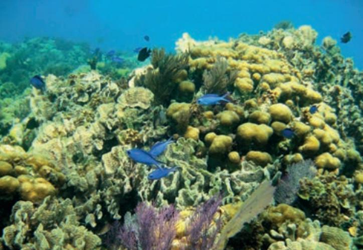 Los corales tienen entre 15 centímetros de alto por 15 centímetros de diámetro, pueden llegar a medir entre dos a tres metros de ancho, y entre metro y medio de alto. (Joel Zamora/SIPSE).