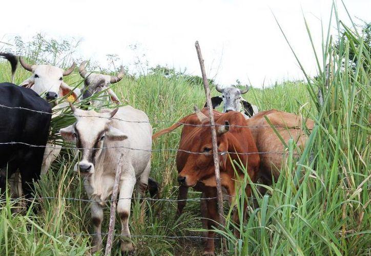 La falta de acuerdo en la cantidad de predios preocupa a los ganaderos.  (Edgardo Rodríguez/SIPSE)