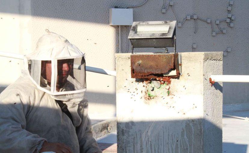 El rescatista de abejas urbanas, Elmar Penagos Romero, donará una colmena. (Sergio Orozco/SIPSE)