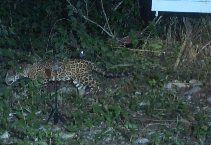 Las autoridades tienen reportes sobre la presencia del jaguar. (Octavio Martínez/SIPSE