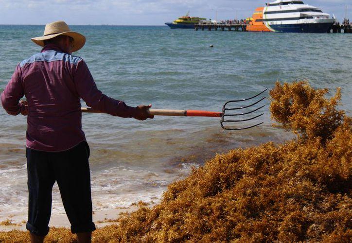 La presencia de sargazo en la zona de playas en esta temporada va en aumento. (Foto: Adrián Barreto)