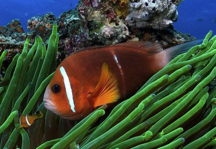 Las grandes distancias que recorren los peces payasos les han permitido mayor facilidad para adaptarse a los cambios. (EFE)