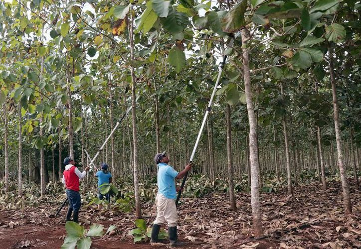 """En Yucatán contamos con tres plantaciones comerciales que tienen sus permisos y certificación correspondientes, una de ellas es la de """"teca"""". (SIPSE)"""