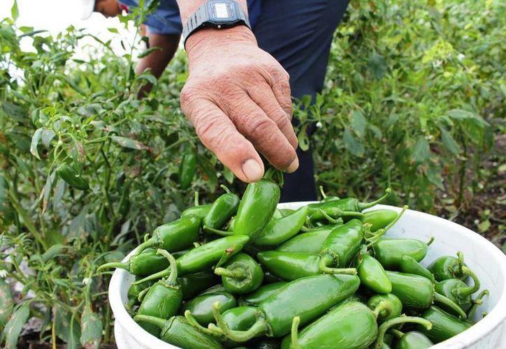 Se estima que el chile jalapeño cierre en cinco pesos el kilo. (Archivo/SIPSE)
