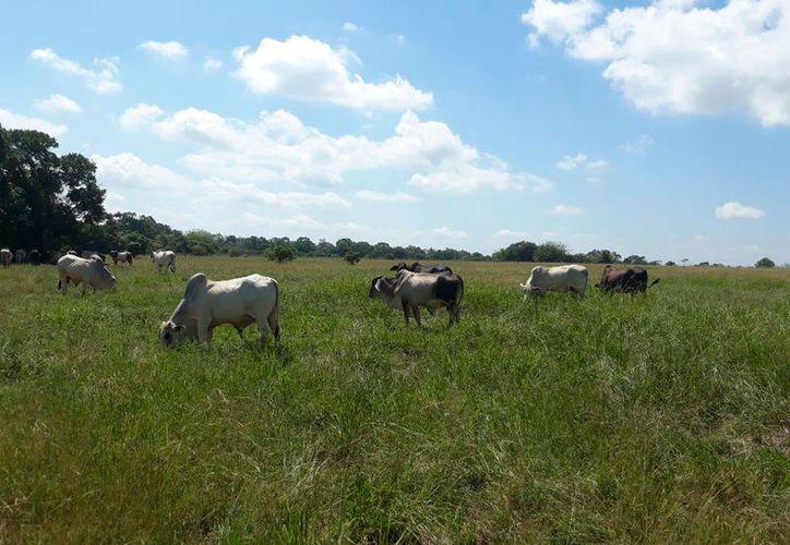 Los ganaderos tienen apoyo de las autoridades, pero si no mejora el clima, poco se puede hacer para mejorar su situación. (Carlos Castilo/SIPSE)