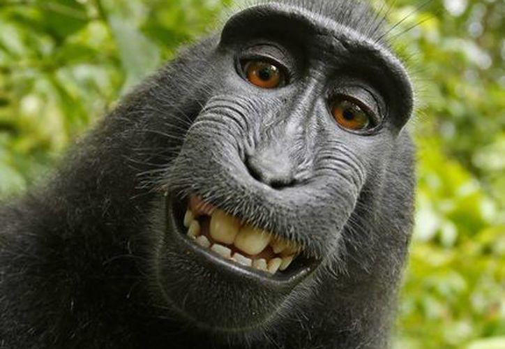 La selfie del macaco 'Naruto' fue tomada con una cámara que instaló el fotógrafo británico David Slater. PETA alega que el mono es el dueño de las imágenes. (AP)